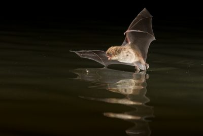 Bats without borders: Predators learn novel prey cues from ...