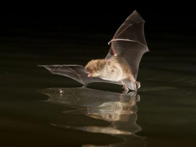 Daubenton's bat hunting over water