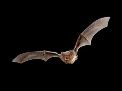 Nathusius' pipistrelle bat in full flight